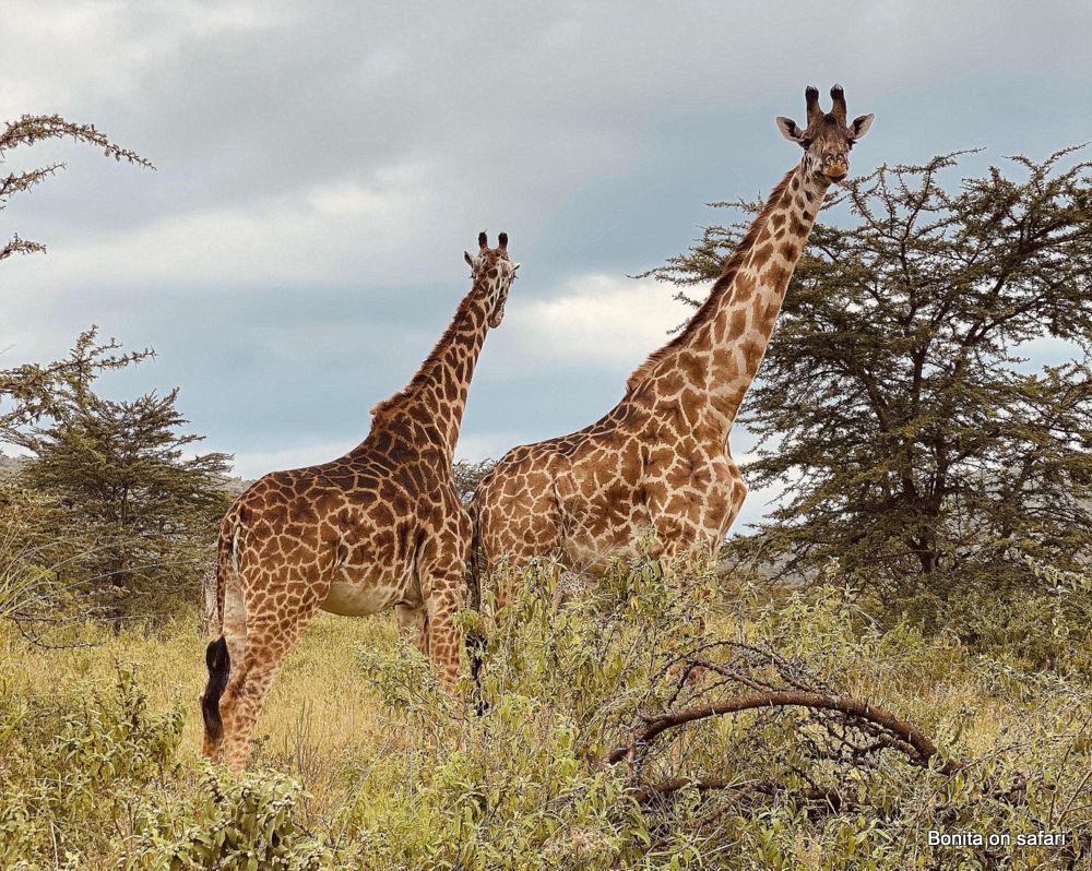 Giraffe Maasai mara